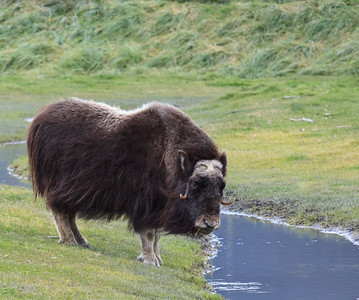 Musk Ox in the Meadow