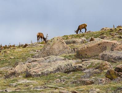 Elk in the Tundra