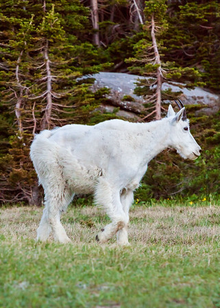 Mountain Goat, Glacier National Park, USA