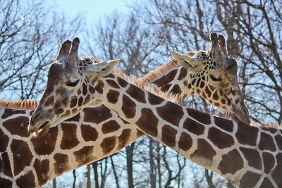 Giraffes on a Sunny Morning