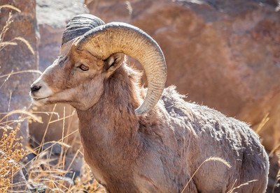 Big Horn Sheep in Winter