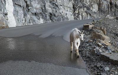 Mountain Goat Walking