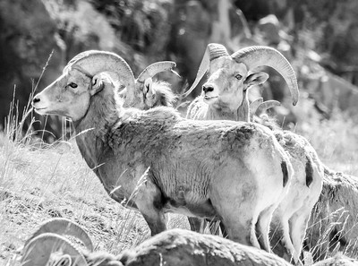 Big Horn Sheep, in Black and White
