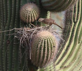 curved-bill-thrasher-nesting-in-a-saguaro-cacti---4004_14406167800_o