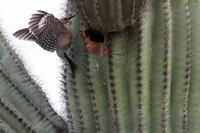 gila-woodpecker-in-flight---8749_17294808334_o
