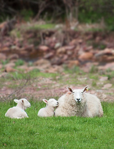 Lambs and Mother