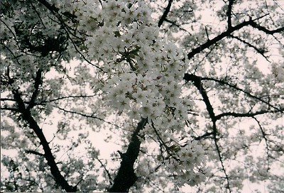 Sakura  (cherry blossoms)