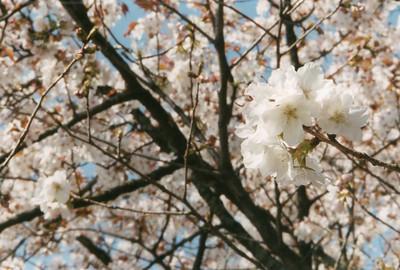 Sakura (cherry blossoms) Kyoto, Japan