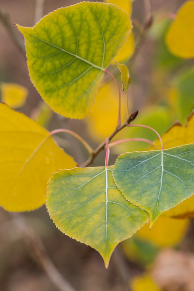 Aspen Leaves - Macro
