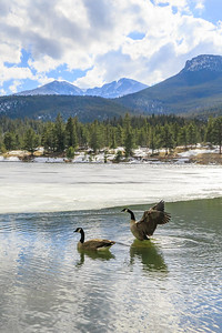 Geese at Lily Lake, Colorado, USA, elevation 8930 feet