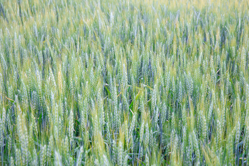 Wheat Fields - Horizontal Image