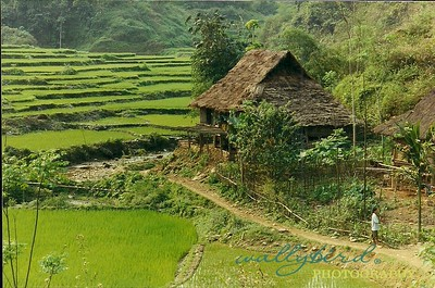 Rice fields on the way to Mai Chau