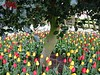 2003-04-13 Mixed-red-and-yellow-tulips-under-a-holly-tree