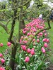 2003-04-13 A-tree-with-pink-tulips