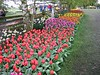 2003-04-13 A-long-row-of-colorful-tulips