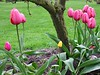 2003-04-13 A-bitty-yellow-tulip-among-the-pink-ones