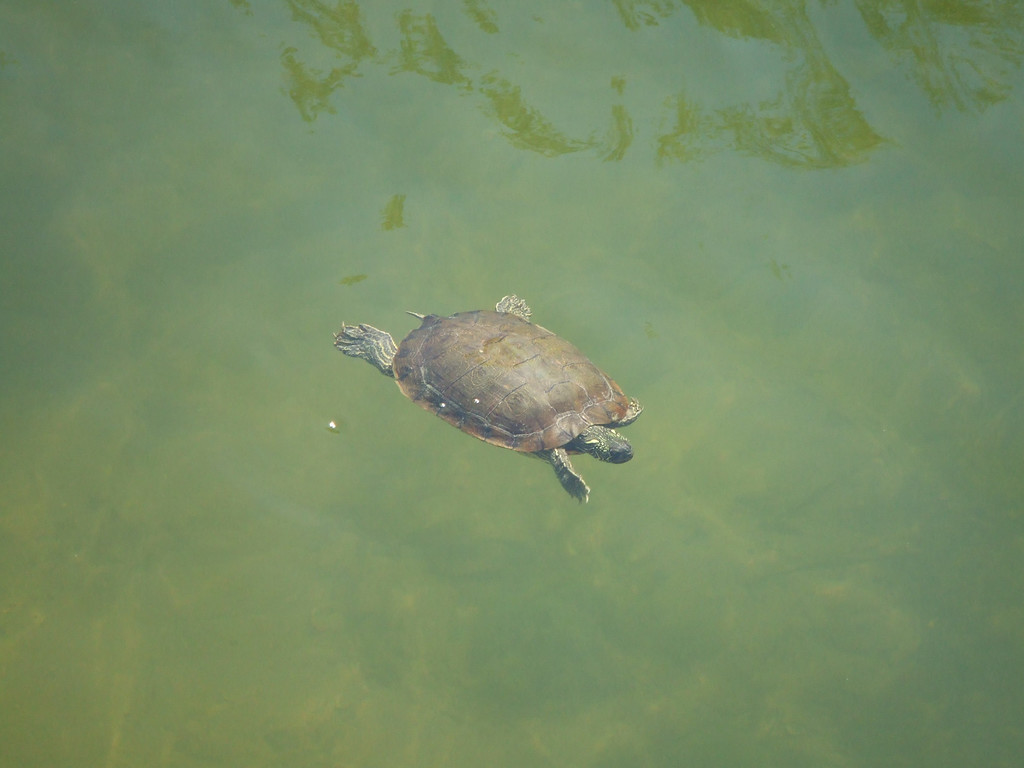 One of many turtles in the water behind the County Line restaurant -  28Mar09