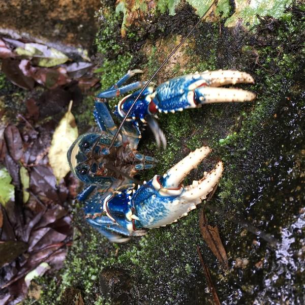 Lamington Blue Spiny Crayfish (Euastacus sulcatus, Parastacidae)