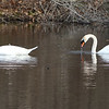 Features at Vietnam Veterans Park in Billerica. A pair of swans on Beaver Pond, who were ducking their heads underwater, apparently for food. (SUN/Julia Malakie)
