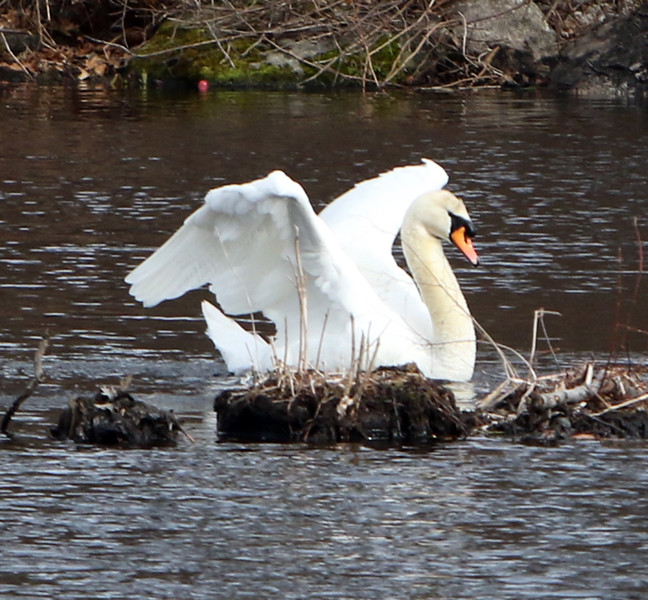 Features at Vietnam Veterans Park in Billerica. One of a pair of swans on Beaver Pond. (SUN/Julia Malakie)