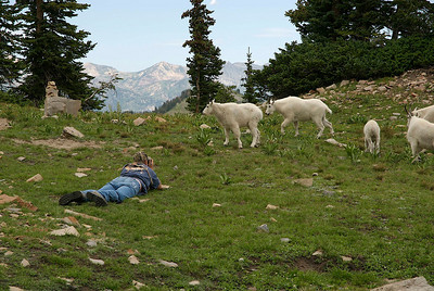 photographing mountain goats