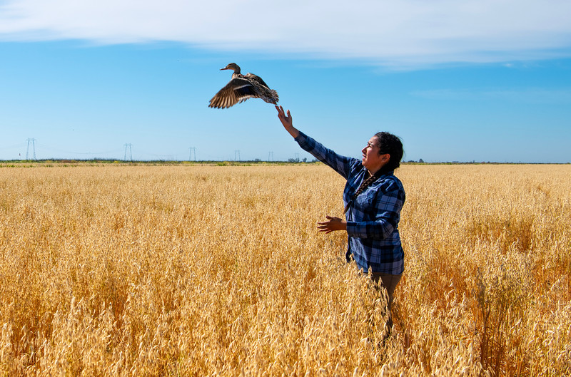 Waterfowl biologist Marina Guzman releases a hen mallard that has just been fitted with a GPS tracking device.