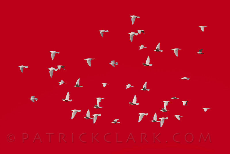 Doves Red