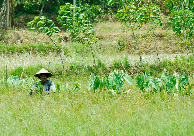 Working the fields, Sleman, Central Java, Indonesia.