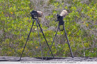 Ready for action - Punta Espinosa, Isla Fernandina, Galapagos, Ecuador