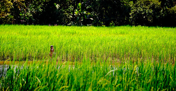 Cambodian boy in a rice paddy field, Cambodia