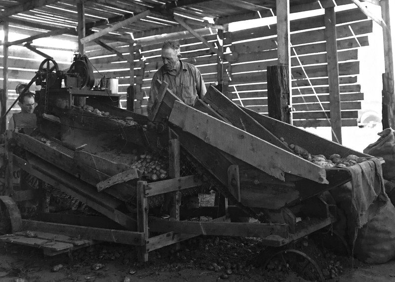 "Different angle on the ""potato sorting machine"". 1930s"
