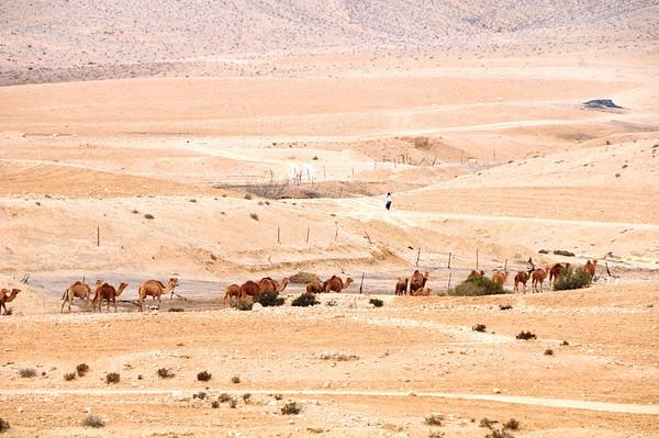 Camel Caravan, The Negev, Israel