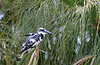 Pilead Kingfisher, Lake Victoria, Kenya