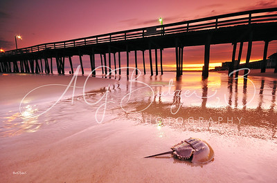 Horseshoe Crab at Sunrise