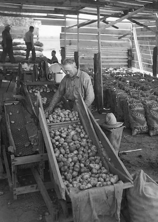 Sorting potatoes in Nebraska. 1930s.