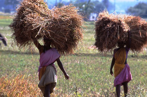 These women were harvesting rice which would soon be spread on the ground and threshed.