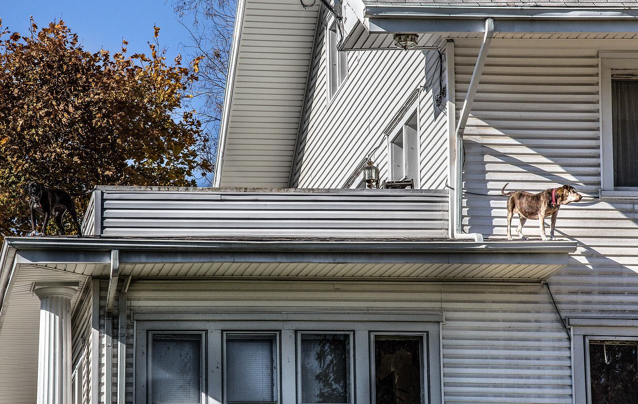 Dog on Roof, Dayton OH