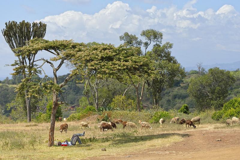 Sheepherder Resting Under an Acacia Tree, Kenya, East Africa