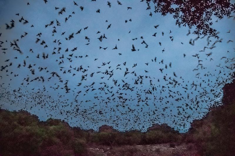 The Bats of Bracken Cave in Garden Ridge TX.
