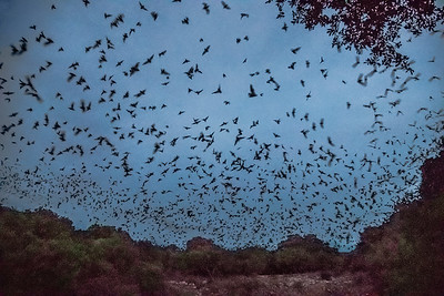 The Bats of Bracken Cave in Garden Ridge TX.