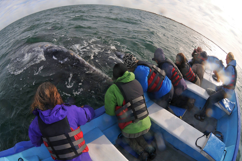 Close encounter of the Gray Whale kind