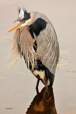Mr. Heron Having a Bad Hair Day