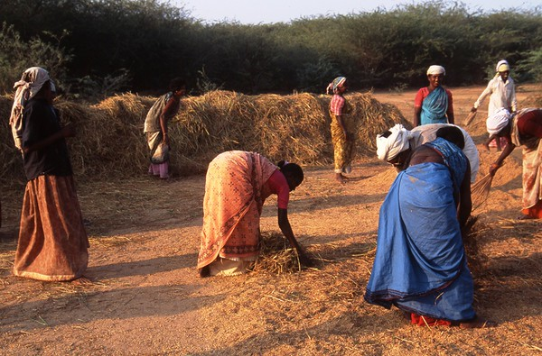 Harvest, Kanchipuram, India