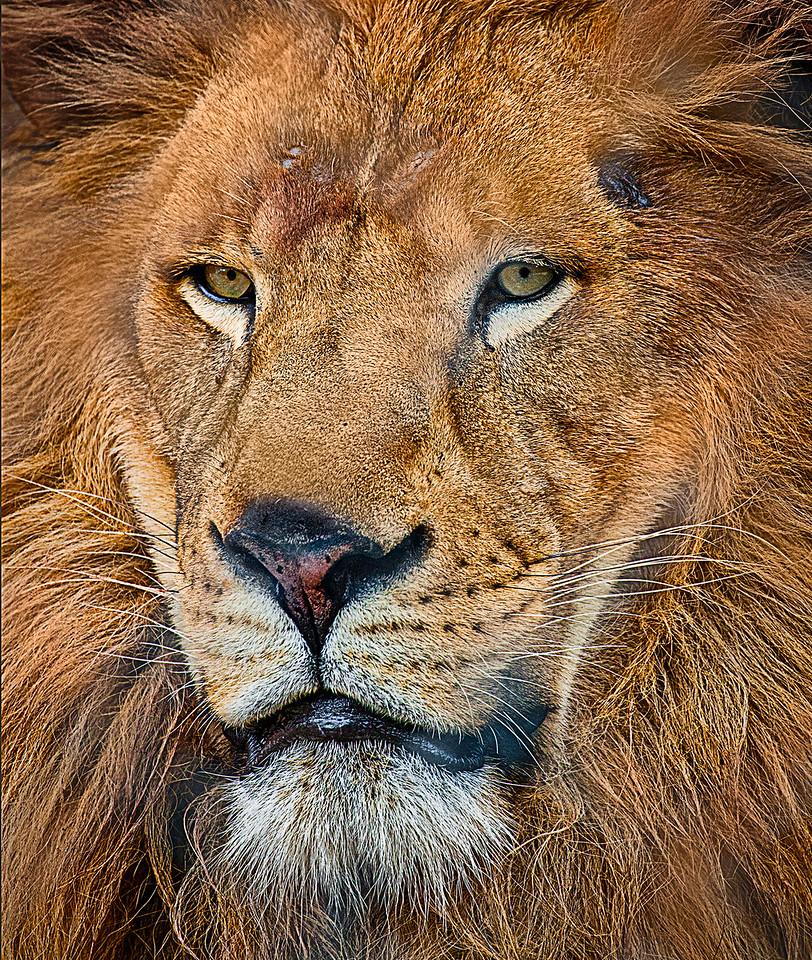 Lion at Austin Zoo.