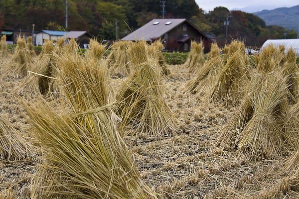 Rice Fields - Harvesting