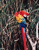 Parrot, taken with a Minolta Maxxum 7000i, 100-300, on Kodak print film.
