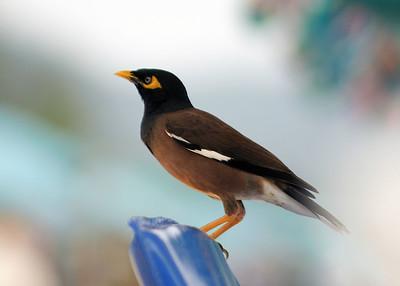Minah Bird, Kata Noi Beach, Phuket
