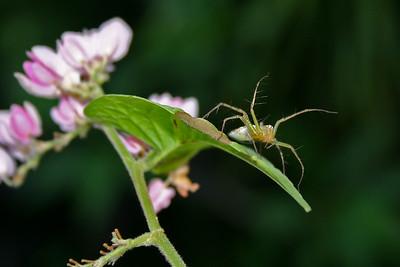 Spider, Phuket, Thailand