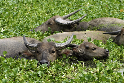 Water buffalo, Phuket, Thailand