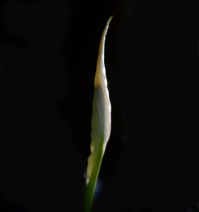 peace lily0751